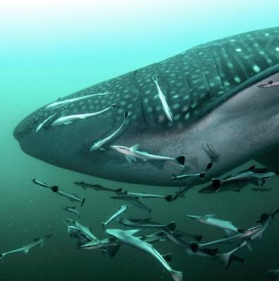 dibbah-oman - whaleshark